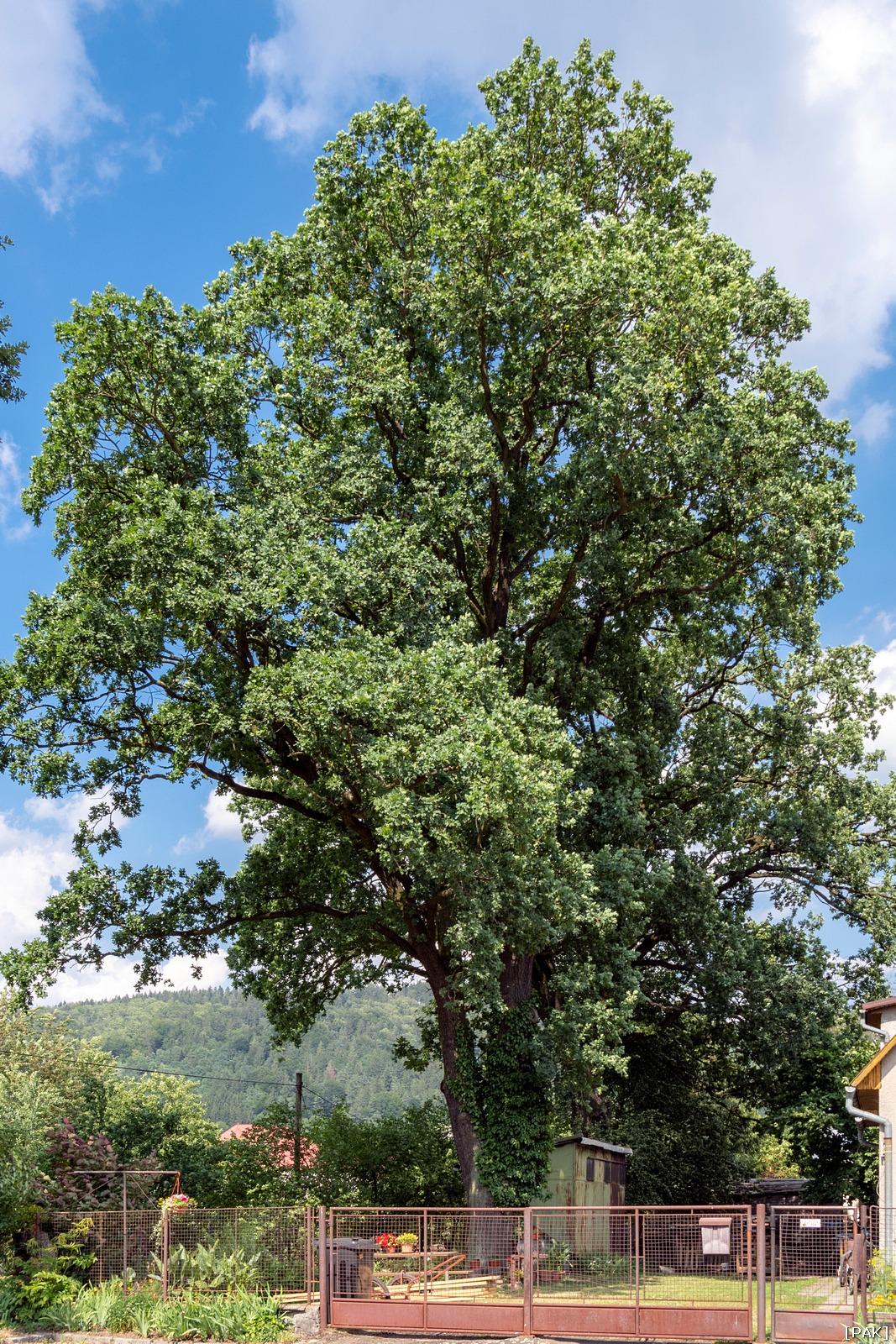 Letní duby na Bystřičce