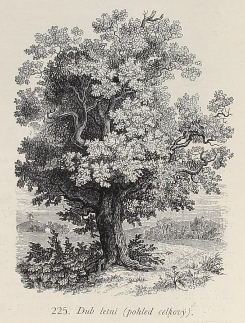 Dub letní (Kapesní atlas brouků a hmyzu)